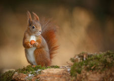 Red squirrel looking right. Red squirrel, Sciurus vulgaris, looking right and holding a hazelnut Stock Photos