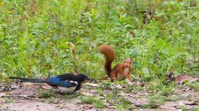 Red Squirrel and Magpie quarreling. A Red Squirrel, Sciurus vulgaris, and a Magpie, Pica pica, have a quarrel because of some nuts in an Italian forest Royalty Free Stock Photo