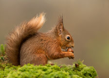 Red squirrel Sciurus vulgaris Royalty Free Stock Photo