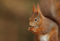 Red squirrel close-up. Red squirrel, Sciurus vulgaris, opening a hazelnut Royalty Free Stock Image