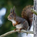 The red squirrel Stock Photo
