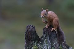 Red squirrel, Sciurus vulgaris, posing on an old stump in a pine forest cairngorms NP, scotland, august. royalty free stock photos