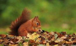 Red Squirrel (Sciurus vulgaris) Royalty Free Stock Images