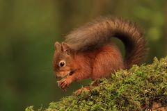 Red Squirrel (Sciurus vulgaris). A Scottish Red Squirrel on a moss covered branch stock photo