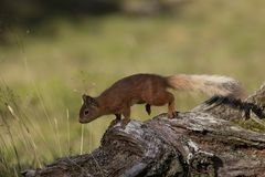 Red squirrel, Sciurus vulgaris, searching for and eating nuts in a pinewood glade during a sunny morning. Caringorm NP, Scotland. stock photos