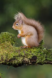 Red squirrel, Sciurus vulgaris Royalty Free Stock Image