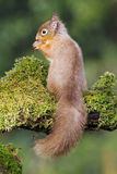 Red squirrel, Sciurus vulgaris Stock Images