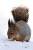 The red squirrel (Sciurus vulgaris) sitink on the snow. The red squirrel or Eurasian red sguirrel ,Sciurus vulgaris, sitting on the snow Royalty Free Stock Image