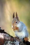 The red squirrel (Sciurus vulgaris) sitink on the branch. The red squirrel or European red squirrel (Sciurus vulgaris) sitink on the branch Stock Photo