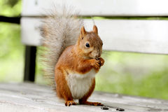 Red squirrel, Sciurus vulgaris Stock Photography