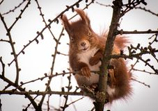 Cute little Red Squirrel laughing in a larch tree royalty free stock photo
