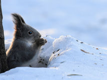 Red Squirrel. Sciurus vulgaris in snow stock photography