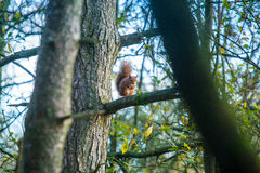 Red squirrel Sciurus vulgaris Royalty Free Stock Photos