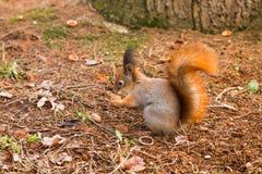 Red Squirrel (Sciurus vulgaris). Red Squirrel with walnut (Sciurus vulgaris Royalty Free Stock Photo