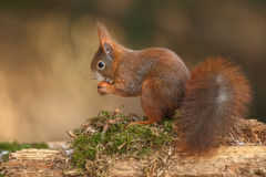 Red squirrel on a bed of moss Royalty Free Stock Images