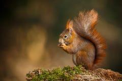 Red squirrel feeding. Red squirrel, Sciurus vulgaris, wild in Britain Stock Photo