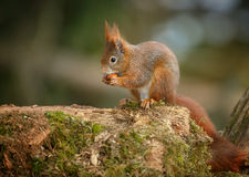 Red squirrel feeding Royalty Free Stock Image