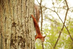 Red squirrel scrambles down the tree royalty free stock photography