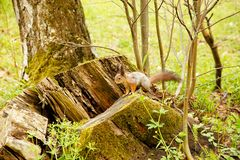 Red squirrel scrambles on wood royalty free stock image