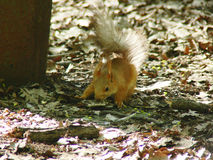 Red squirrel search feed Stock Image