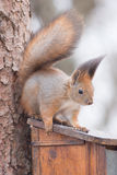Red Squirrel. Red squirrel in search of food Royalty Free Stock Images