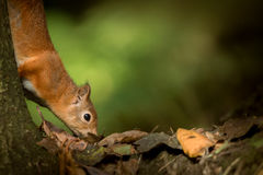 Red Squirrel searching for food. Royalty Free Stock Photography