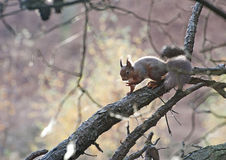 Red Squirrel. A Red Squirrel searching for food to store ready for the winter months royalty free stock photo