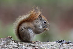 Red Squirrel with Seeds Stock Photography