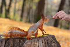 Red squirrel seeking for nut. Red squirrel taking nut form a human's hand in the autumn park Royalty Free Stock Photos