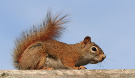 Red Squirrel from Side Royalty Free Stock Photography