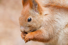 Red squirrel side view. Closeup side view of Eurasian red squirrel (Sciurus vulgaris Royalty Free Stock Image