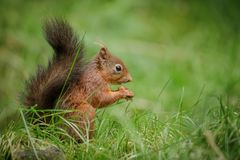 British red squirrel in green grass Stock Photos