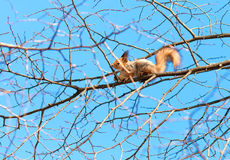 Red squirrel sits high on a tree branch. Against the blue sky stock image