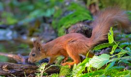 Red Squirrel sits on a mossy wood ground near a pond in forest royalty free stock images
