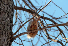 Red squirrel sits plated and look at the camera. The red squirrel sits at the end of the tree and look into the camera,holding the paws of the nutlet. Beautiful stock photography