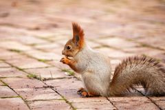 The red Squirrel sits on a tile with a nut in his paws Royalty Free Stock Image