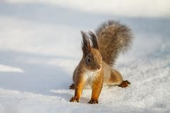Red squirrel sits on the white snow alone and looks to the right stock images