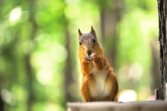 Red squirrel sits in wood. The red squirrel sits in the green wood. doff Royalty Free Stock Images