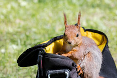Red squirrel sitting in bag on green grass and searching for foo Royalty Free Stock Photo