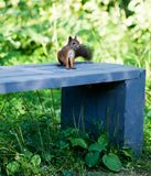 Red squirrel sitting on a blue bench in the summer in the woods. Red fluffy squirrel sitting on a blue bench in the summer in the woods royalty free stock photos