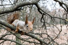 Red squirrel sitting on the branch of naked autumn tree. searchi. Young red squirrel sitting on the branch of naked autumn tree and searching for food Royalty Free Stock Photo