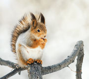 Red squirrel sitting on a branch in the Park and eats a nut Stock Photography