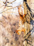Red squirrel sitting on the branch. Of a tree and gnaws a nut royalty free stock photography