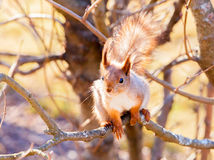 Red squirrel sitting on the branch. Of a tree and gnaws a nut royalty free stock image