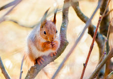 Red squirrel sitting on the branch. Of a tree and gnaws a nut royalty free stock photos