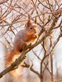 Red squirrel sitting on the branch. Of a tree and gnaws a nut stock photo