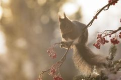 Squirrel sitting on branches with berries and snow. Red squirrel is sitting on branches with berries and snow Stock Image