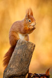 Red squirrel sitting Stock Photos
