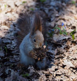 Red squirrel sitting and eating something at park. The Red squirrel sitting and eating something at park Royalty Free Stock Photography