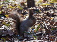 Red squirrel sitting and eating something at the park Royalty Free Stock Image